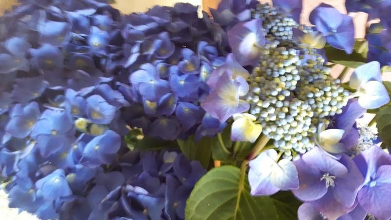 hortensia fleur des maisons de bretagne